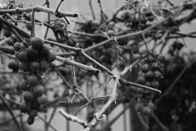 L'uva è come il tempo, passa1